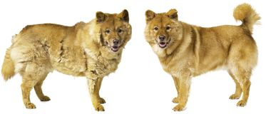 Vertimiento del perro - perro preparado Fotos de archivo libres de regalías