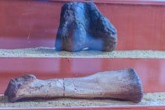 Vertoning van realistische skeletten van dinosaurussenbeen Royalty-vrije Stock Foto's
