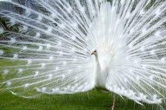 Vertoning van witte pauw, Borromean-eilanden, Italië Stock Afbeelding