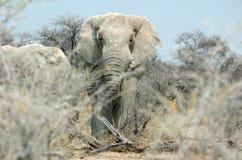 Vertraulich mit einem Elefanten Stockfotos