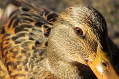 Vertraulich mit Ente lizenzfreie stockfotos