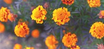 Vertroebelden de oranje bloemen van de bannerherfst op de van de bloeijaren van grondtagetis natuurlijke de installatie Selectiev royalty-vrije stock foto's
