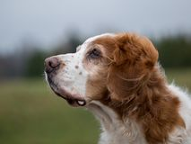 Vertrouwend oud Brittany Spaniel royalty-vrije stock fotografie