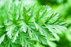 Verts de carotte Photographie stock libre de droits