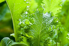 Verts de moutarde organiques Photographie stock