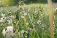 Verts de pissenlit et épillets Image stock