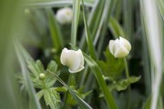 Verts, fleur blanche, tendresse de ressort Photos libres de droits