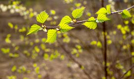 Verts tendres de ressort Photo libre de droits