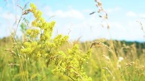 Verum del galio de la planta medicinal almacen de metraje de vídeo