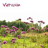 Vervain Stock Photography
