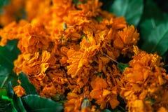 Vervalsing of Imeritinsky-de goudsbloemen van saffraanbloemen royalty-vrije stock fotografie