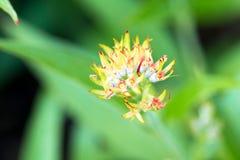 Verveine rose, été d'isolat de fleur de désambiguisation au printemps image libre de droits