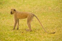 Ververt monkey Stock Photo