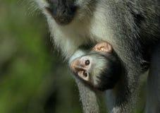 vervet的婴孩美丽的停止的妈妈猴子 免版税库存照片