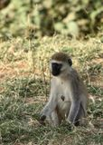 vervet обезьяны Стоковые Изображения