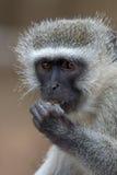 vervet обезьяны стоковое изображение rf