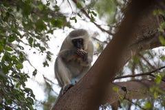 Обезьяна Vervet или обезьяна Старого Мира стоковые изображения rf
