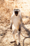 Vervet Adult male Monkey Stock Images