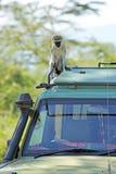 Vervet-Affe auf der Überdachung eines Jeeps Stockfotos