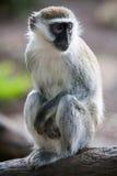 Vervet-Affe auf einem Baum Lizenzfreie Stockbilder
