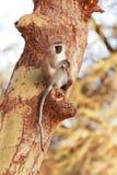 Vervet-Affe auf einem Baum Stockfotos