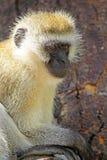 Vervet-Affe auf einem Baum Lizenzfreies Stockbild