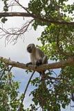 Vervet-Affe auf einem Baum im Nationalpark Kruger, Südafrika Stockbilder