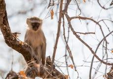 Vervet-Affe auf einem Baum mit Victoria Falls im Hintergrund Stockfoto
