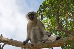 Vervet-Affe auf einem Baum, Südafrika Lizenzfreies Stockbild