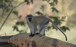 Vervet-Affe auf einer Baumrinde am See Naivasha Lizenzfreies Stockbild