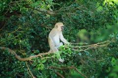 Vervet-Affe auf einer Niederlassung Lizenzfreies Stockfoto