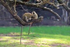 Vervet-Affe auf einer Niederlassung Stockfoto