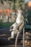 Vervet-Affe auf Zaun Stockbild