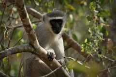 Vervet-Affe Cercopithecus aethiops, die in einem Baum, Südafrika sitzen Stockfotografie
