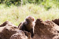 Vervet-Affe Chlorocebus-pygerythrus Baby auf Felsen Stockbilder