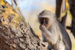 Vervet-Affe Chlorocebus-pygerythrus, das Nüsse auf einem Baum im Nationalpark Marakele, Reiseziel in Südafrika isst C Lizenzfreie Stockfotografie