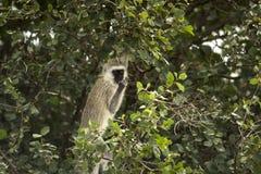Vervet-Affe, Chlorocebus-pygerythrus, essend, Serengeti Lizenzfreie Stockfotos