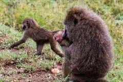Vervet-Affe Chlorocebus-pygerythrus mit Baby Stockfotos