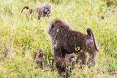 Vervet-Affe Chlorocebus-pygerythrus mit Baby Lizenzfreie Stockfotografie