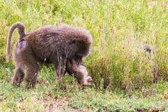 Vervet-Affe Chlorocebus-pygerythrus mit Baby Lizenzfreie Stockfotos