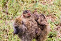 Vervet-Affe Chlorocebus-pygerythrus mit Baby Lizenzfreie Stockbilder