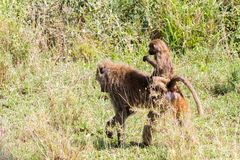 Vervet-Affe Chlorocebus-pygerythrus mit Baby Lizenzfreies Stockbild