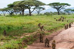 Vervet-Affe Chlorocebus-pygerythrus in Serengeti Lizenzfreies Stockfoto