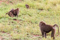 Vervet-Affe Chlorocebus-pygerythrus in Serengeti Lizenzfreie Stockbilder