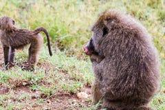 Vervet-Affe Chlorocebus-pygerythrus in Serengeti Stockfotos