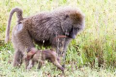Vervet-Affe Chlorocebus-pygerythrus in Serengeti Stockfotografie