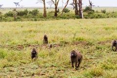 Vervet-Affe Chlorocebus-pygerythrus in Serengeti Stockbild