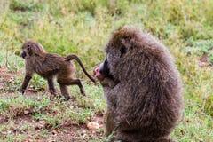 Vervet-Affe Chlorocebus-pygerythrus in Serengeti Lizenzfreie Stockfotos