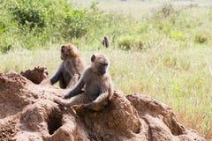 Vervet-Affe Chlorocebus-pygerythrus in Serengeti, Tansanier Stockbild