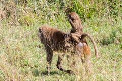 Vervet-Affe Chlorocebus-pygerythrus in Serengeti, Tansanier Lizenzfreie Stockbilder